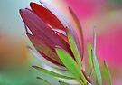 Pastel Leucadendron by Extraordinary Light