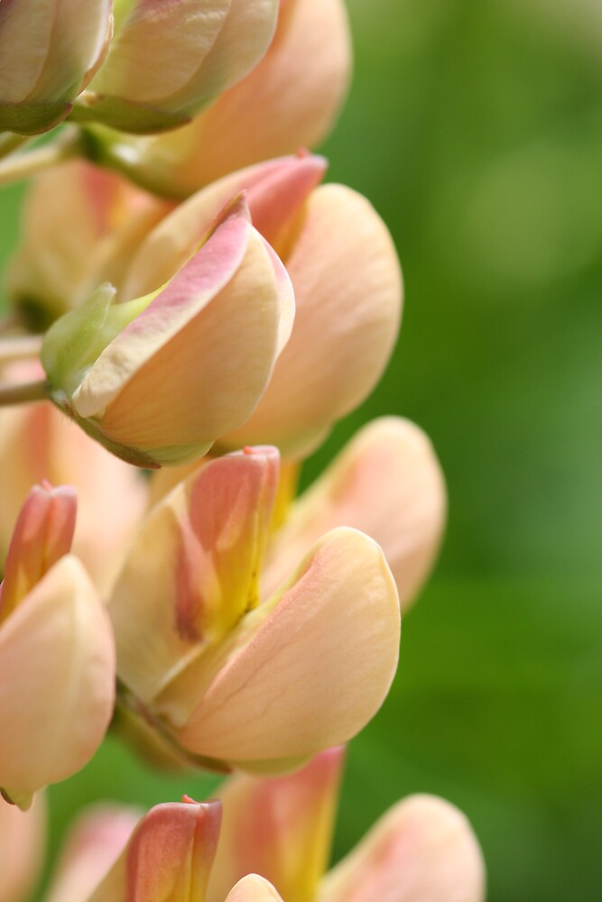 apricot Lupin by RuthBaker