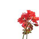 Red Passion by Daniela Cifarelli
