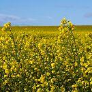 Yellow by Anita Harris