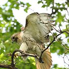 Red-tailed Hark Landing by Sarah McKoy