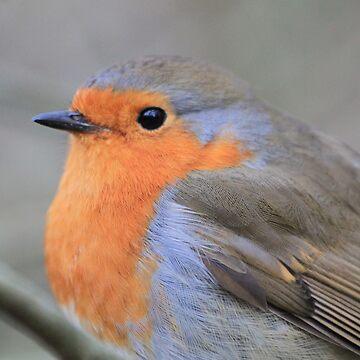 Robin at Conwy by derbyshireduck