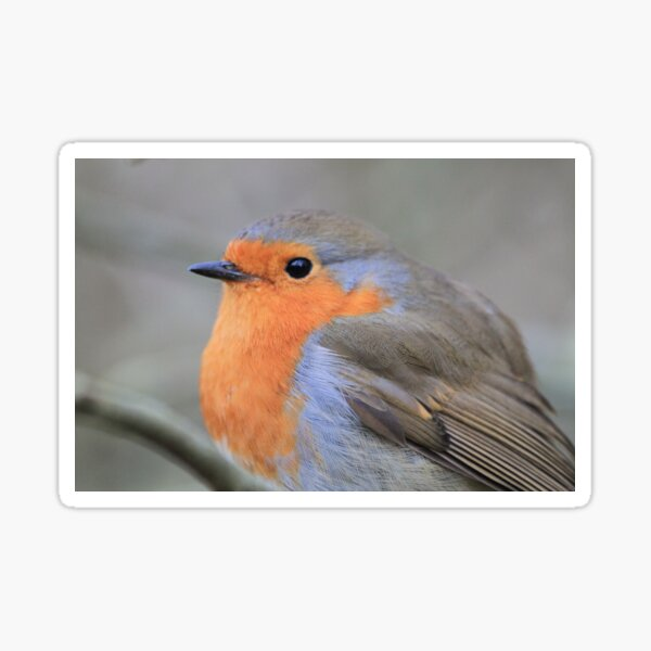 Robin at Conwy Sticker