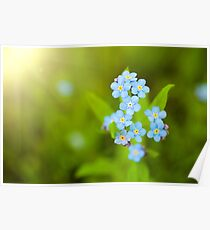 Unique blue forget-me-not flowers close up Poster