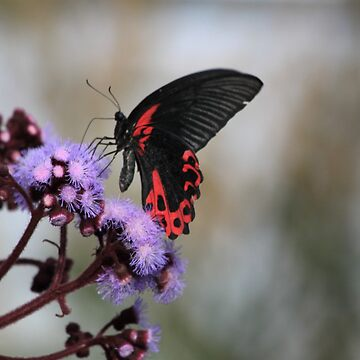 Red and Black Butterfly by derbyshireduck
