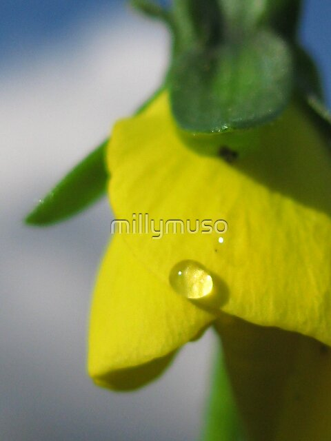 open your petals little pansy  by millymuso