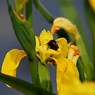 Water Iris and Friend by dougie1