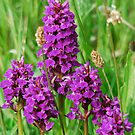 Wild Orchid by dougie1