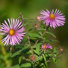 New England Aster by Mike Oxley