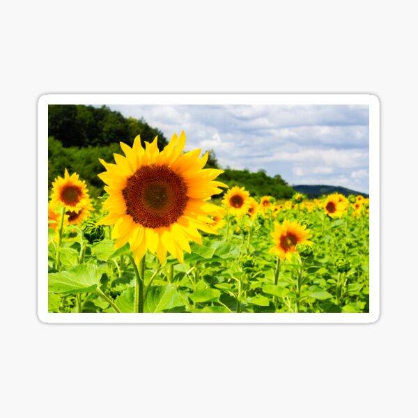 sunflower field in the mountains Sticker