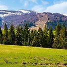 Spruce forest on  the grassy hills by mike-pellinni