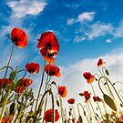 field of red papaver flower shot from below by mike-pellinni