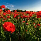 poppy field in summer evening by mike-pellinni
