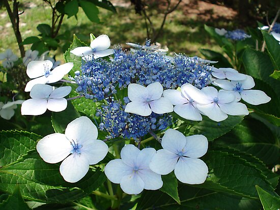 French Hydrangea by May Lattanzio