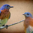 Eastern Bluebird Pair by Bonnie T.  Barry