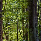 look in to the deep dark beech forest in summer by mike-pellinni
