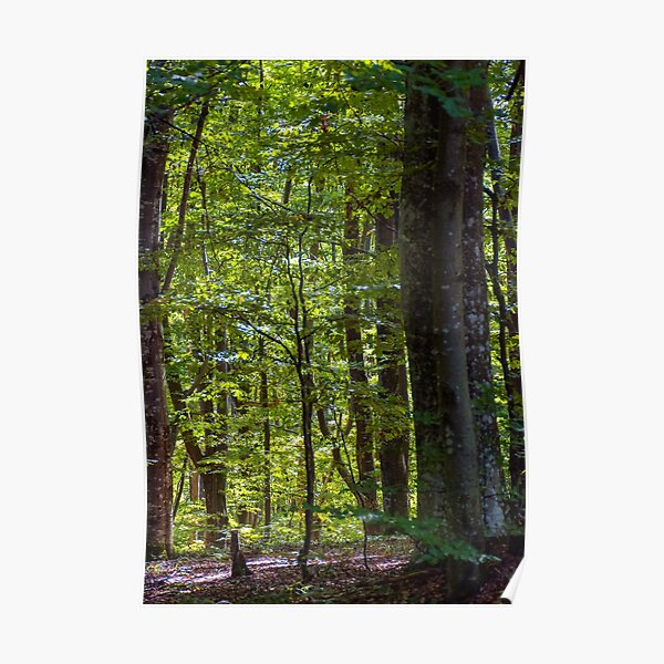 look in to the deep dark beech forest in summer Poster