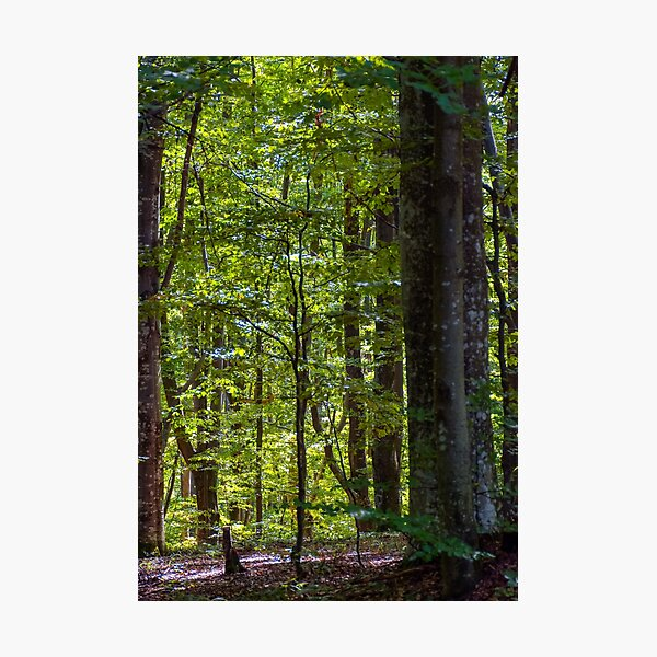 look in to the deep dark beech forest in summer Photographic Print