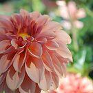 Subtle peach colored dahlia by Lozzar Flowers & Art
