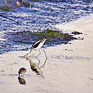American Avocets on Blue by Susan Gary