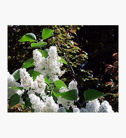 White Lilacs Photographic Print