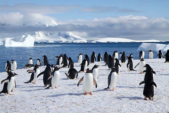 Gentoo penguins (Pygoscelis papua). Antarctica by PhotoStock-Isra