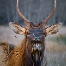 Laughing Elk by williamsrdan