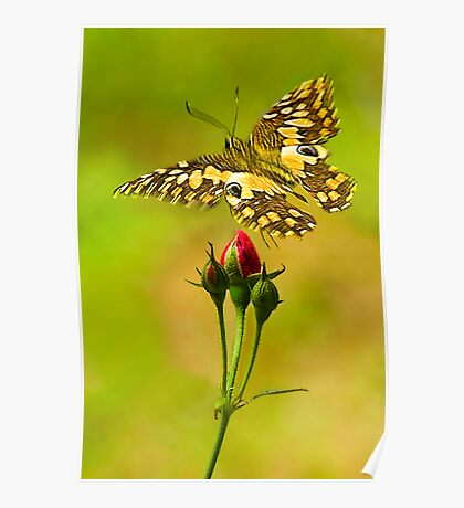 Buds and Butterfly Poster