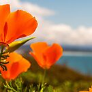 Poppies and Coast by williamsrdan