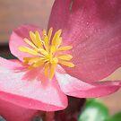Begonia by karenkirkham