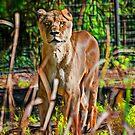 Watchful Lioness by miroslava