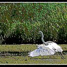 PAINTED EGRET by BOLLA67