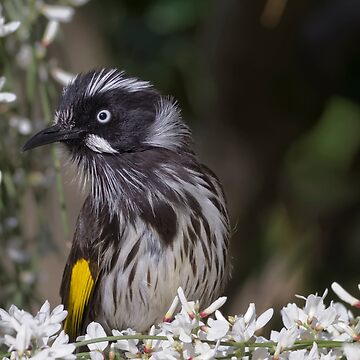 New Holland Honey Eater by Davo1812