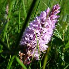 Another Wild Orchid by dougie1