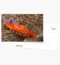 Colourful cowrie  Postcards