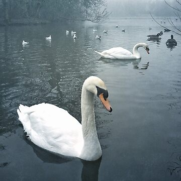 Swans in Tooting Common by zuluspice