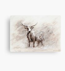 Exmoor Cow in Blizzard Canvas Print