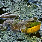 Bull Frog Croaking by TJ Baccari Photography