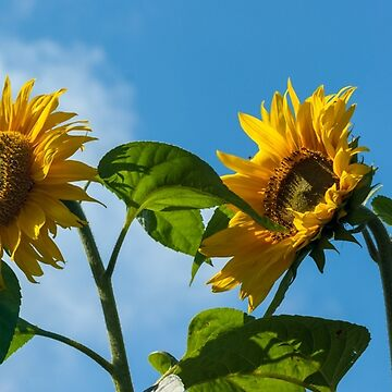 Sunflower Against Blue Sky Panorama by shane22
