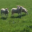 Three Lambs by John Dalkin