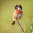 Stonechat by peaky40
