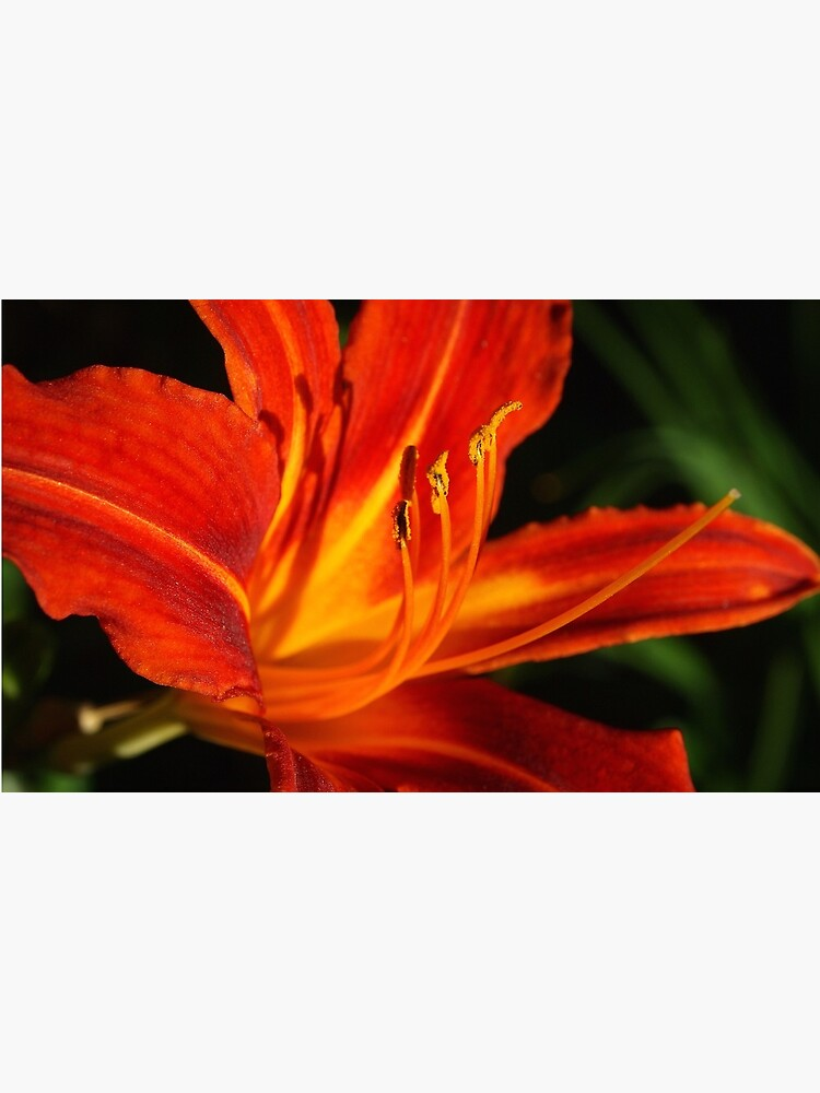 Red Daylily (Hemerocallis) from A Gardener's Notebook by douglasewelch