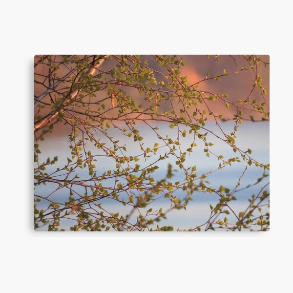 Spring Birch near the River Canvas Print