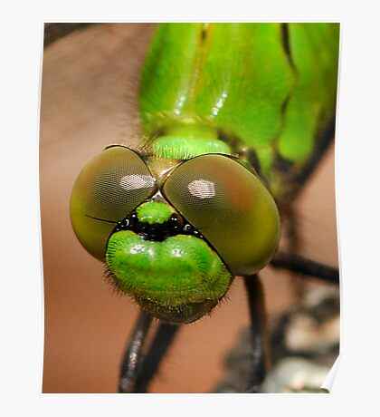 Mean Green -  Erythemis Vesiculosa  (Great Pondhawk dragonfly) Poster