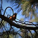 Male- American Red Robin by DonnaMoore