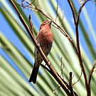 House Finch by Dawne Dunton
