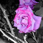 thorny paradise roses 06/05/18 by Shellaqua