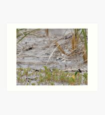 Piping Plover Chick...Hiding in plain sight Art Print
