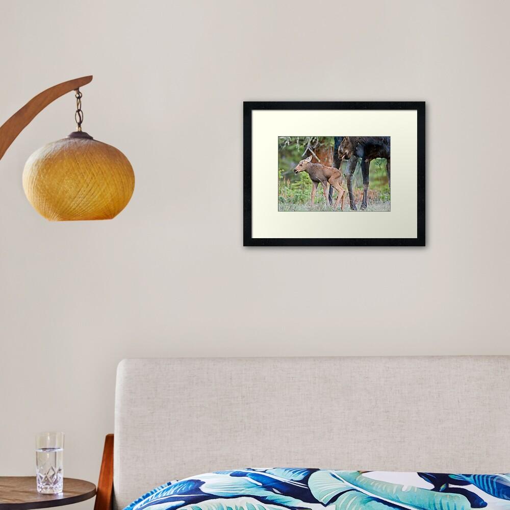 Moose Cow, Days Old Calf, Looking Good Framed Art Print