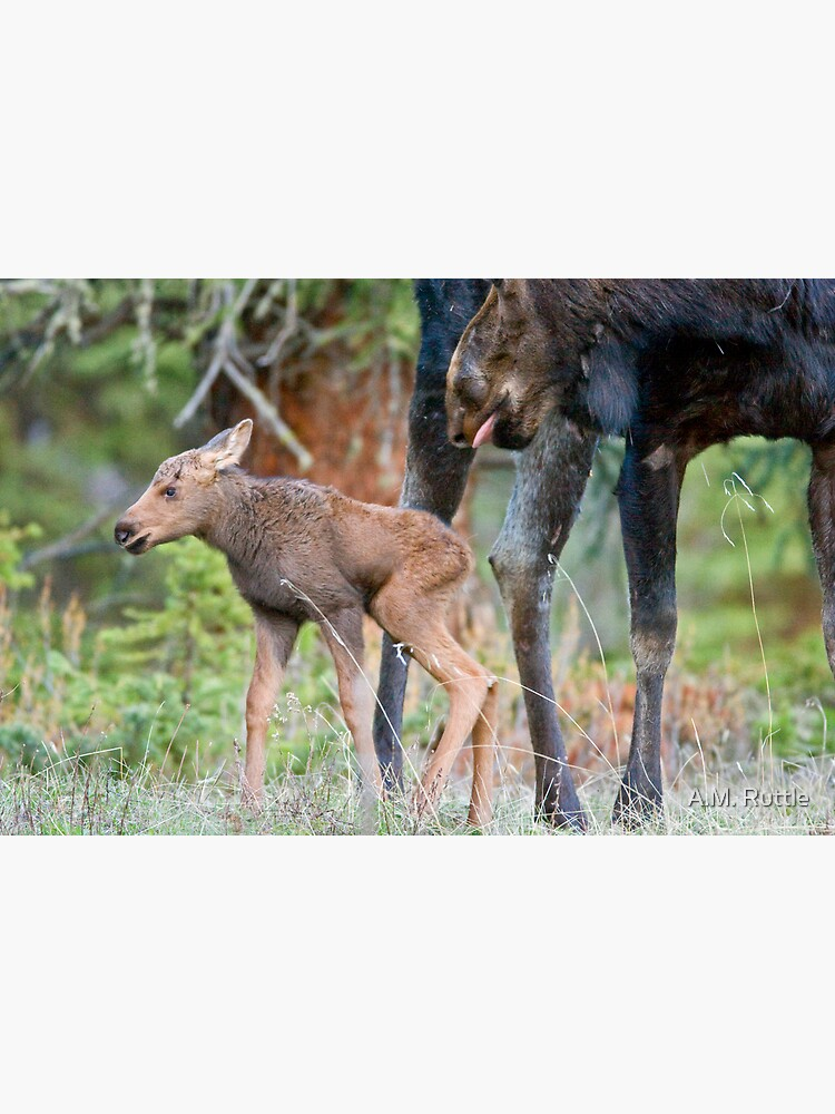 Moose Cow, Days Old Calf, Looking Good by annruttle